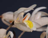 Coelogyne multiflora. Close-up side.