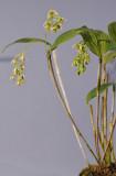 Dendrobium crassilabium