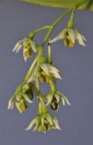 Dendrobium crassilabium. Closer.