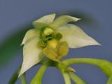 Dendrobium crassilabium. Close-up.