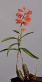 Dendrobium faciferum