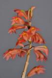 Dendrobium faciferum. Closer.