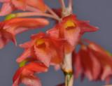 Dendrobium faciferum. Close-up.