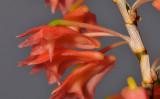 Dendrobium faciferum. Close-up side.