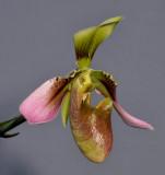 Paphiopedilum appletonianum. Close-up side.
