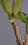 Agrostophyllum sp.