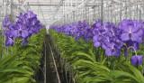 Anco orchids