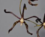 Arachnis calcarata. Close-up.