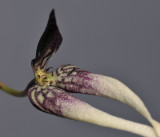 Bulbophyllum contortisepalum. Close-up.