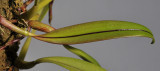 Bulbophyllum hemisterranthum. Foliage.