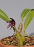 Bulbophyllum vinaceum