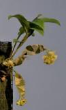 Dendrobium ypsilon