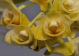 Dendrobium ypsilon. Close-up.