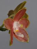 Phalaenopsis venosa. Close-up side.