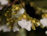 Trichoglottis triflora. Close-up.