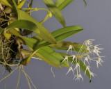 Bulbophyllum laxiflorum