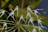 Bulbophyllum laxiflorum. Close-up.