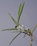 Cleisocentron merrillianum