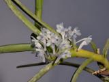 Cleisocentron merrillianum. Closer.