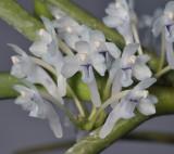 Cleisocentron merrillianum. Close-up.