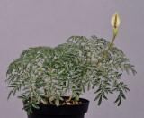 Amorphophallus ongsakulii