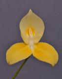 Disa uniflora. Yellow.