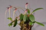 Bulbophyllum contortisepalum