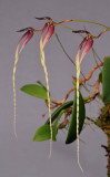 Bulbophyllum contortisepalum. Closer.