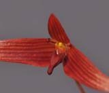 Bulbophyllum inaequale. Close-up.