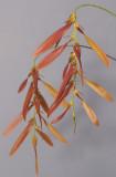 Bulbophyllum kanburiense aff. Closer.