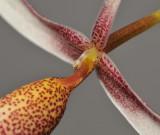 Bulbophyllum nitidum. Close-up.
