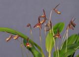 Bulbophyllum sp. Closer.