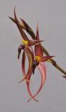 Bulbophyllum vanvuurenii
