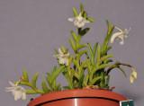 Dendrobium sphenochilum cf.