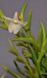 Dendrobium sphenochilum cf. Closer.