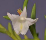 Dendrobium sphenochilum cf. Close-up.