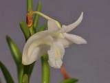 Dendrobium sphenochilum cf. Close-up side.