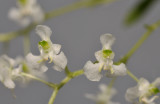 Dipteranthus sp. Close-up.