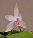 Phalaenopsis violacea . Blue form.