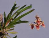 Tolumnia triquetra