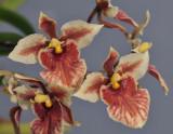 Tolumnia triquetra. Close-up.
