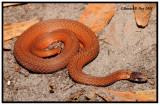 Florida Red-bellied Snake (Storeria occipitomaculata obscura)