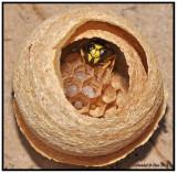 Yellowjacket Queen (Vespula maculifrons)