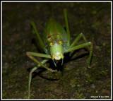 CommonTrue Katydid (Pterophylla camellifolia)