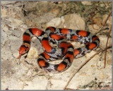 Scarlet Snake (Cemophora coccinea copei)