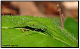 Juvinile Common True Katydid (Pterophylla camellifolia)