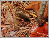 Trapdoor Spider Female (Myrmekiaphila sp.) Possibly (Myrmekiaphila torreya)