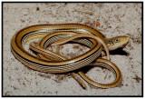 Mimic Glass Lizard (Ophisaurus mimicus)