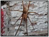 Male Southern Crevice Spider (Kukulcania hibernalis)