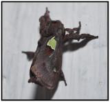 Spiny Oak-Slug Moth (Euclea delphinii)